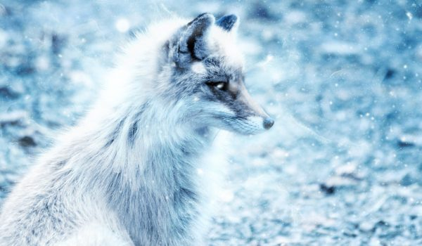fox-2401825_1920